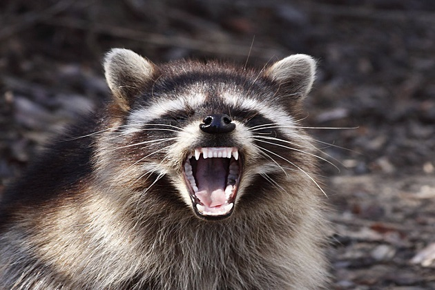 Rabid Raccoon captured in the vicinity of Port Chester after having bitten three people.