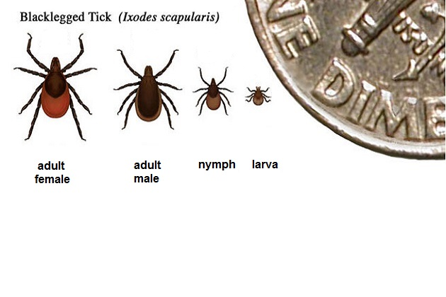 Ticks compared to the size of a dime