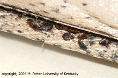 Image of bedbugs and excrement in mattress seam